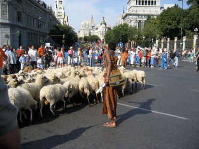ovejas-calor